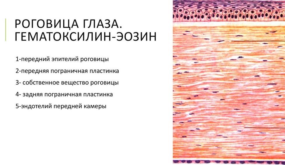Эпителии роговицы