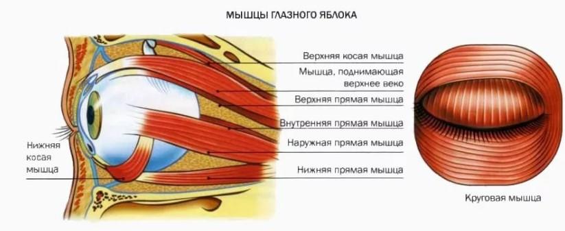 Расположение глазных мышц