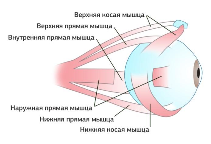 Прямые и косые мышцы глаза