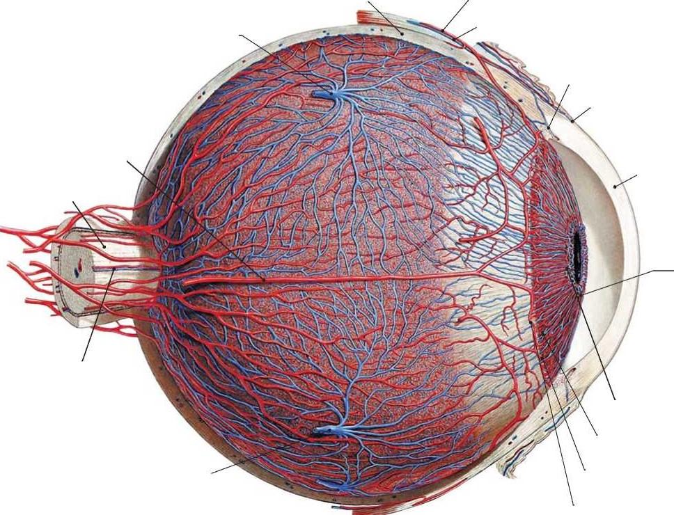 Кровеносные сосуды глаза